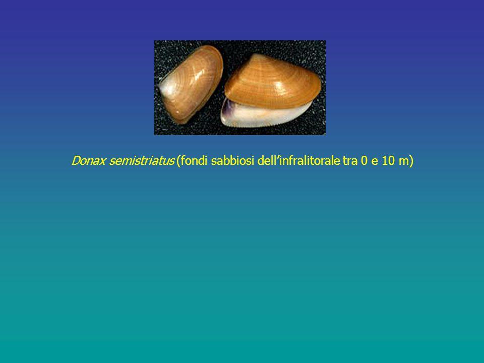 Donax semistriatus (fondi sabbiosi dell'infralitorale tra 0 e 10 m)