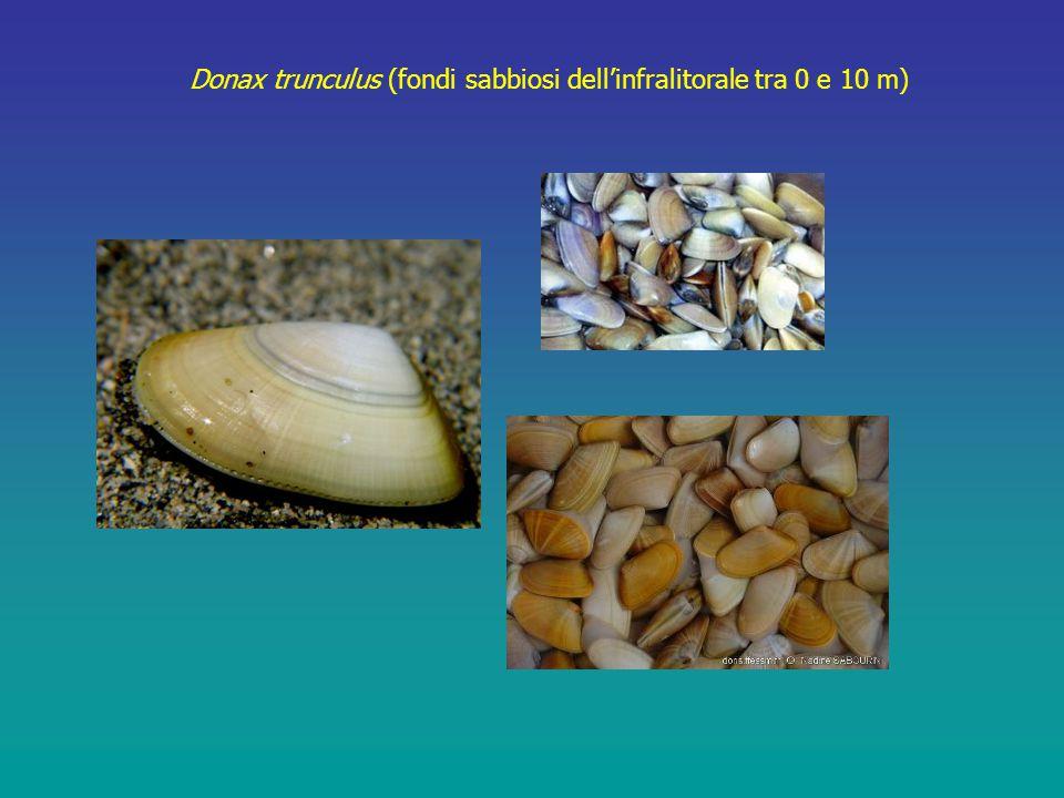 Donax trunculus (fondi sabbiosi dell'infralitorale tra 0 e 10 m)