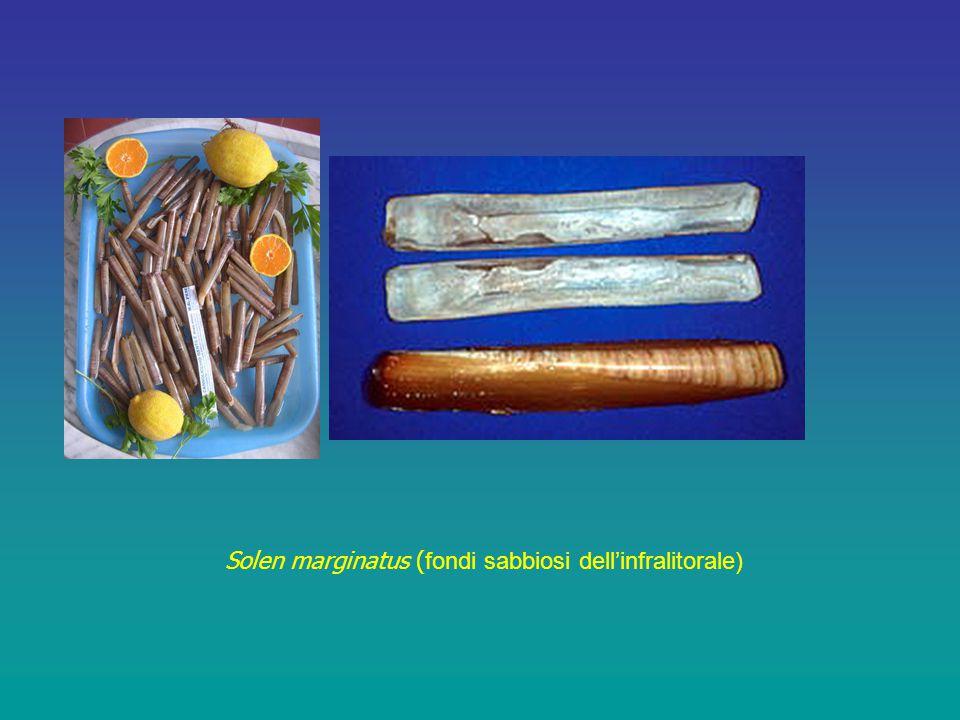 Solen marginatus ( fondi sabbiosi dell'infralitorale)