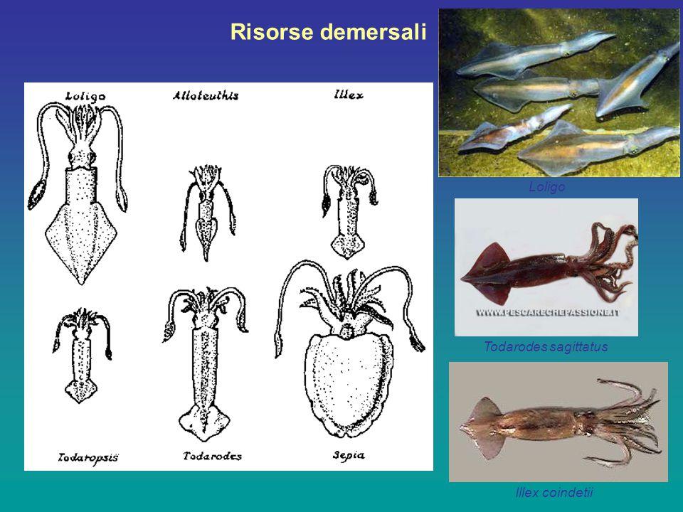 Loligo vulgaris LM max 30-40 cm. Comune tra 15 e 25 cm. Vive tra 20 e 200 m di profondità
