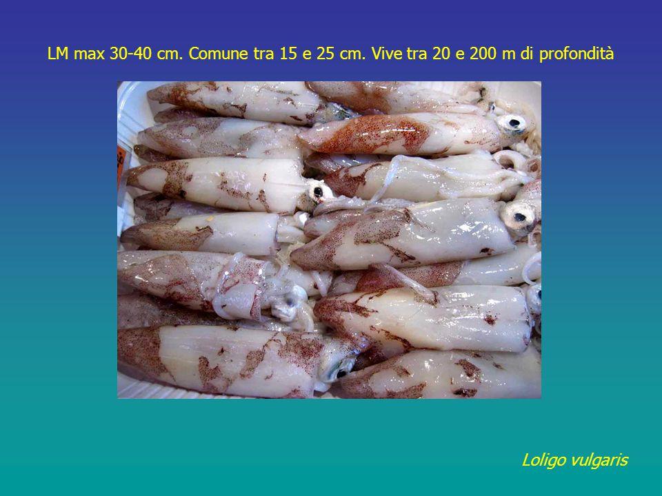 Sepia officinalis LM max 35 cm. Comune tra 15 e 25 cm. Vive tra 10 e 100 m di profondità
