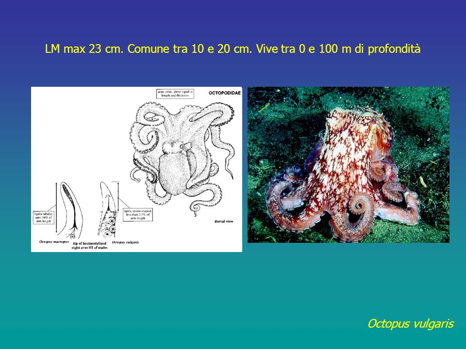 Octopus vulgaris LM max 23 cm. Comune tra 10 e 20 cm. Vive tra 0 e 100 m di profondità