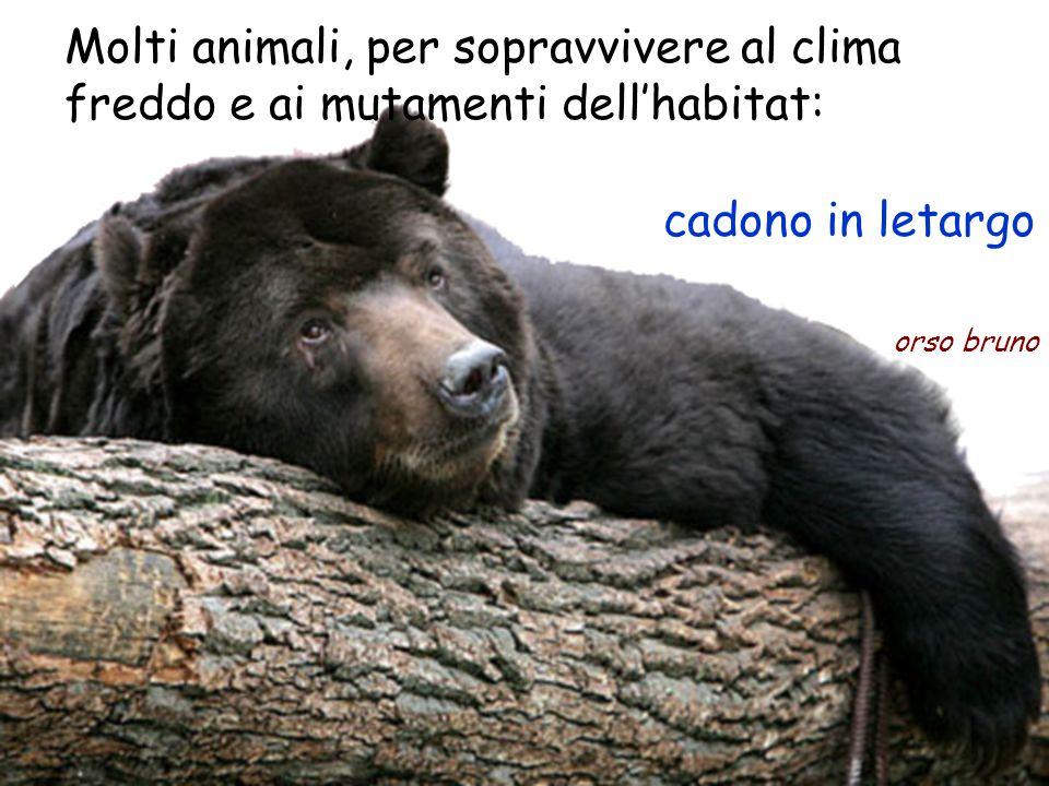 Molti animali, per sopravvivere al clima freddo e ai mutamenti dell'habitat: orso bruno cadono in letargo
