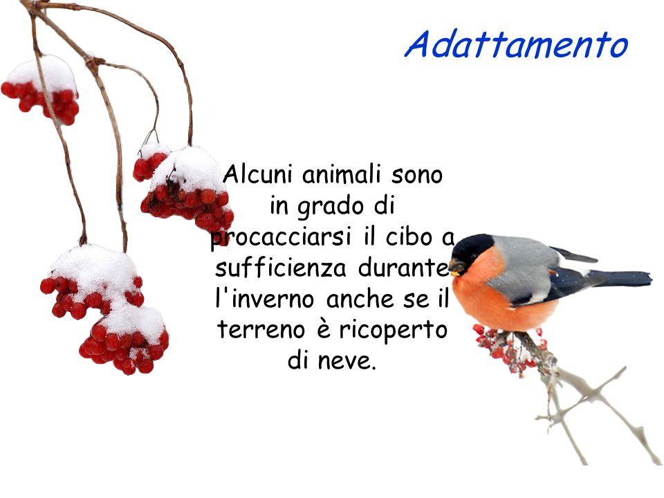 Adattamento Alcuni animali sono in grado di procacciarsi il cibo a sufficienza durante l'inverno anche se il terreno è ricoperto di neve.