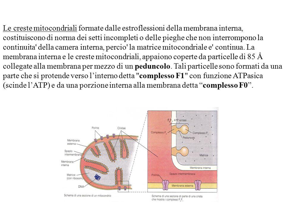Le creste mitocondriali formate dalle estroflessioni della membrana interna, costituiscono di norma dei setti incompleti o delle pieghe che non interrompono la continuita della camera interna, percio la matrice mitocondriale e continua.