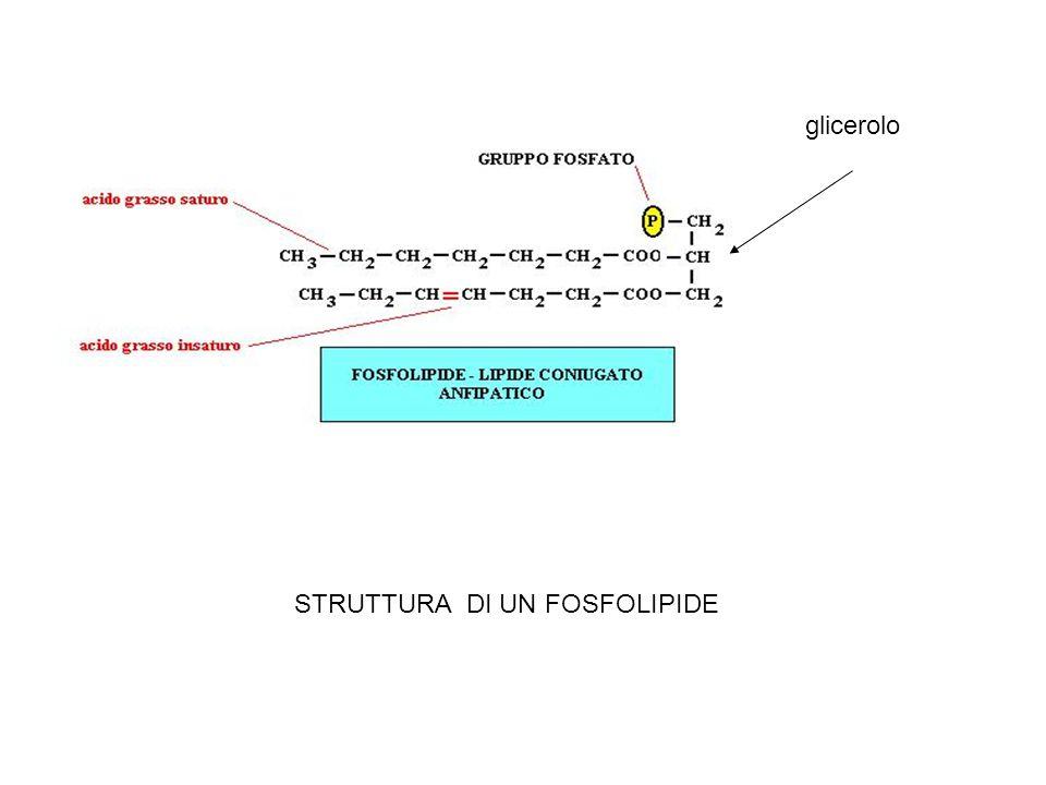 glicerolo STRUTTURA DI UN FOSFOLIPIDE