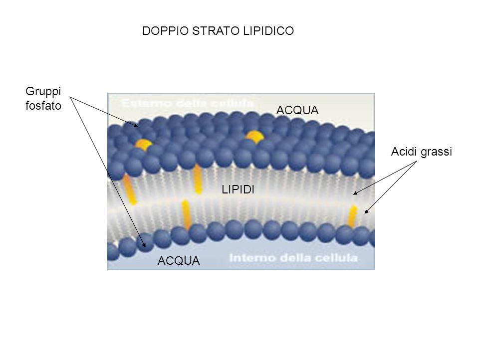 ACQUA LIPIDI DOPPIO STRATO LIPIDICO Gruppi fosfato Acidi grassi