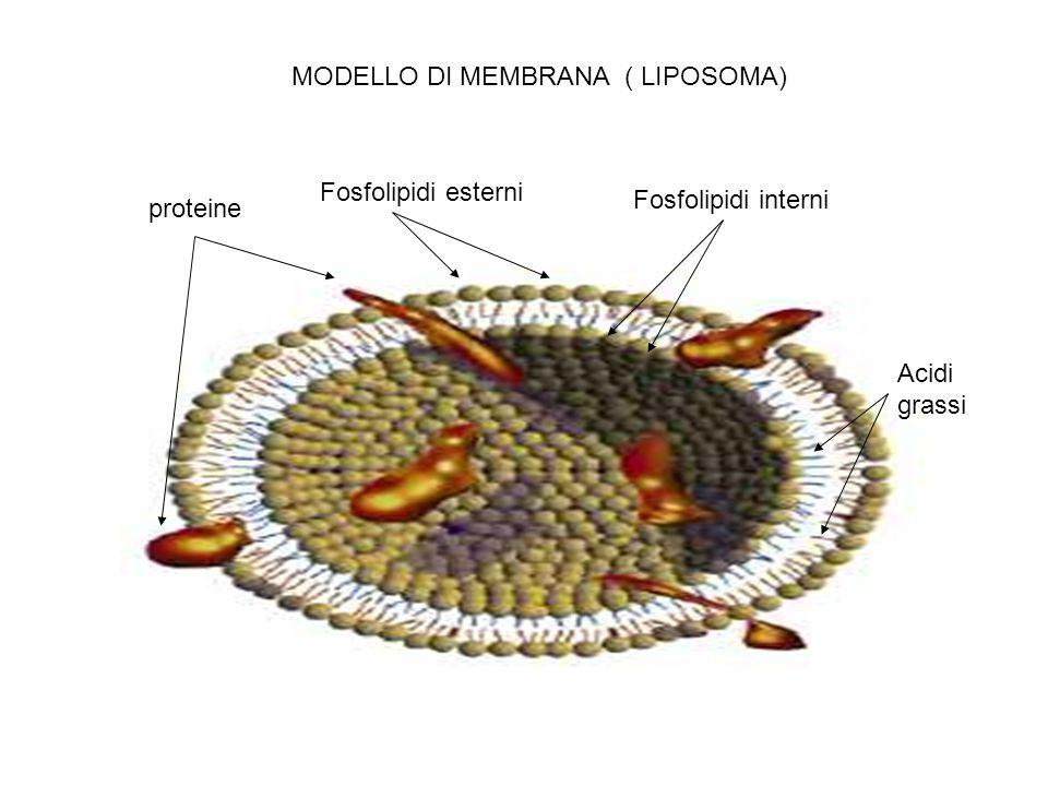 proteine Fosfolipidi esterni Fosfolipidi interni MODELLO DI MEMBRANA ( LIPOSOMA) Acidi grassi