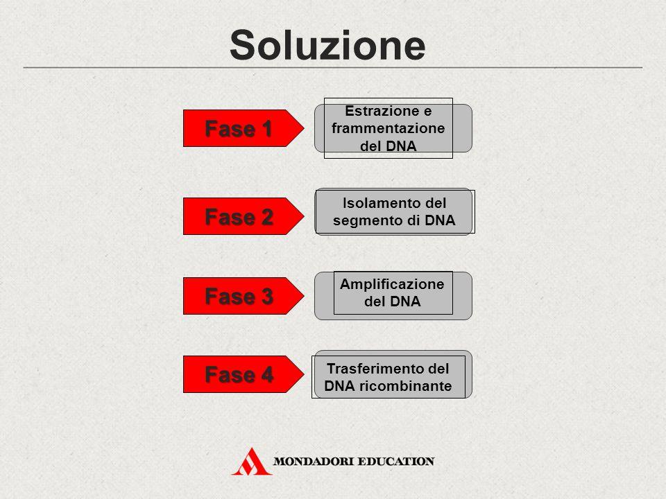 Soluzione Fase 1 Fase 2 Fase 3 Fase 4 Trasferimento del DNA ricombinante Isolamento del segmento di DNA Estrazione e frammentazione del DNA Amplificazione del DNA