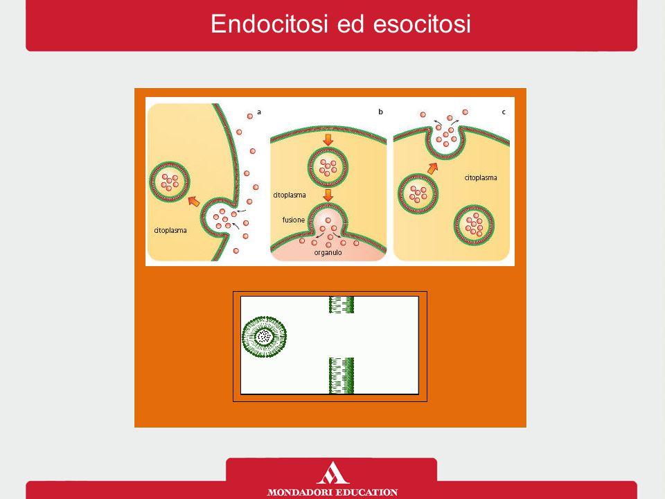 Endocitosi ed esocitosi