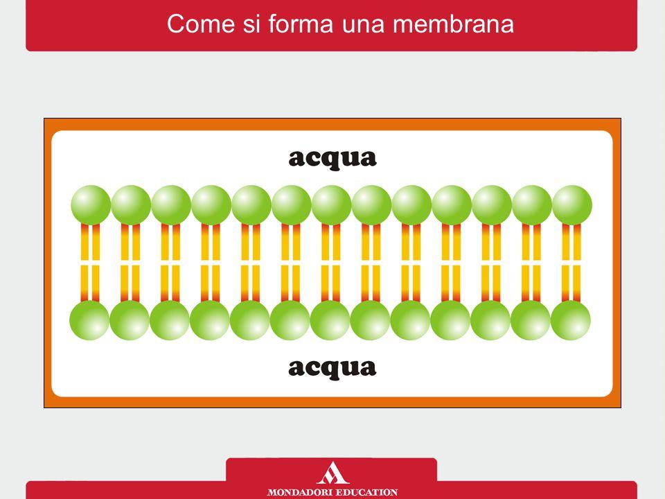Chi passa attraverso la membrana?