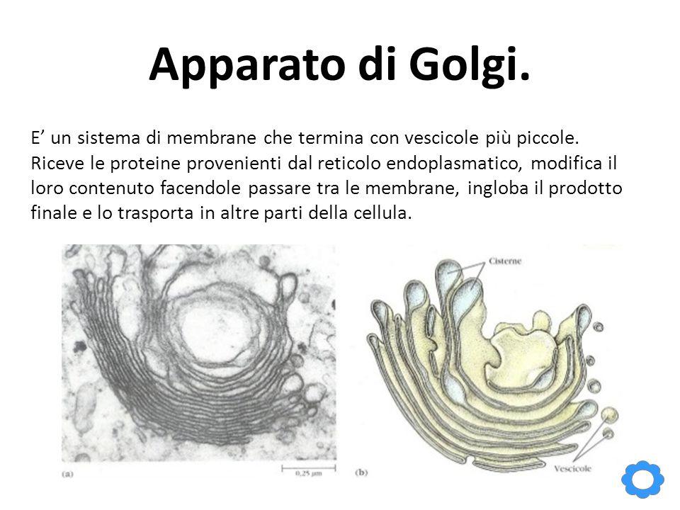 Apparato di Golgi. E' un sistema di membrane che termina con vescicole più piccole. Riceve le proteine provenienti dal reticolo endoplasmatico, modifi