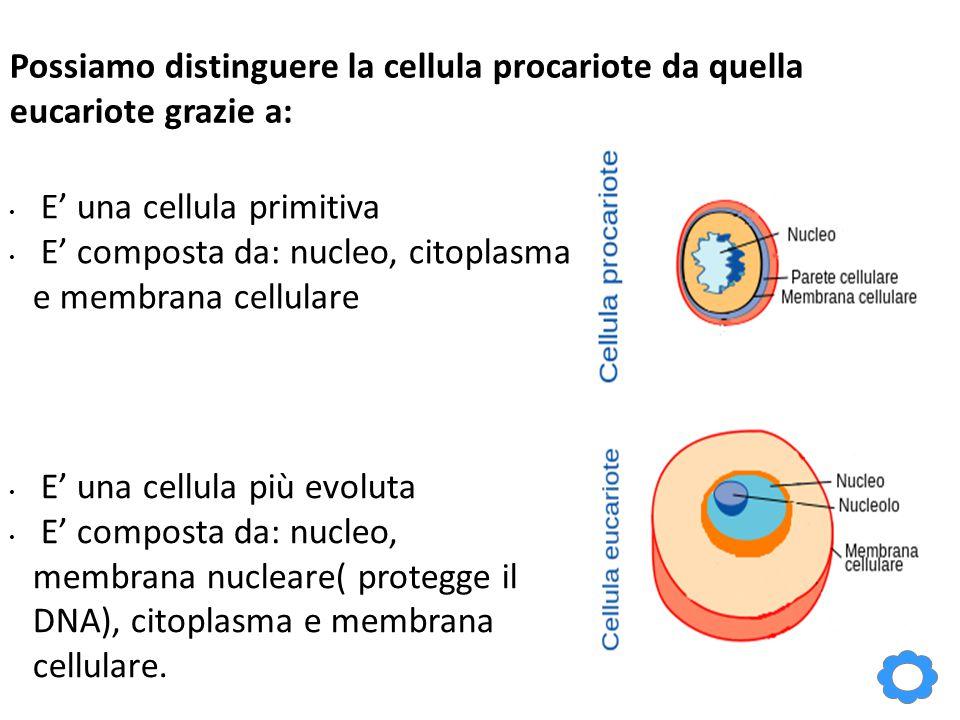 Possiamo distinguere la cellula procariote da quella eucariote grazie a: E' una cellula primitiva E' composta da: nucleo, citoplasma e membrana cellulare E' una cellula più evoluta E' composta da: nucleo, membrana nucleare( protegge il DNA), citoplasma e membrana cellulare.