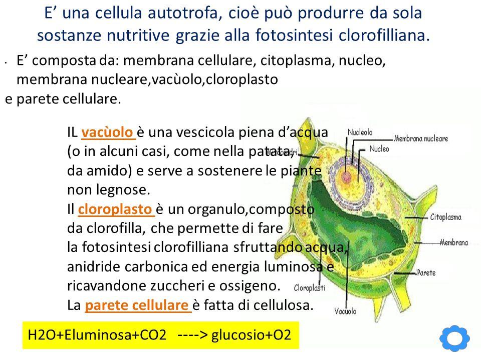 E' una cellula autotrofa, cioè può produrre da sola sostanze nutritive grazie alla fotosintesi clorofilliana. E' composta da: membrana cellulare, cito