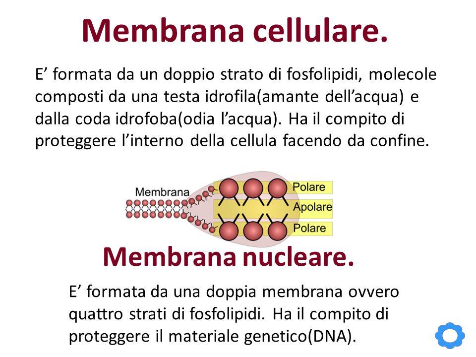 Membrana cellulare. E' formata da un doppio strato di fosfolipidi, molecole composti da una testa idrofila(amante dell'acqua) e dalla coda idrofoba(od