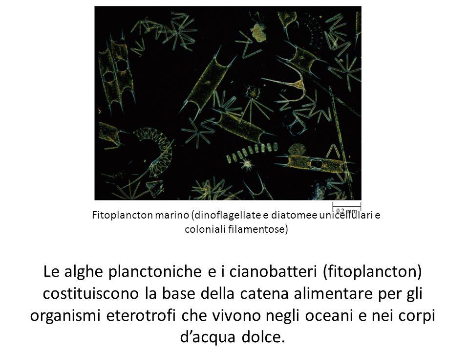 Fitoplancton marino (dinoflagellate e diatomee unicellulari e coloniali filamentose) Le alghe planctoniche e i cianobatteri (fitoplancton) costituisco