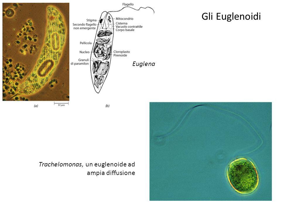 Euglena Trachelomonas, un euglenoide ad ampia diffusione Gli Euglenoidi