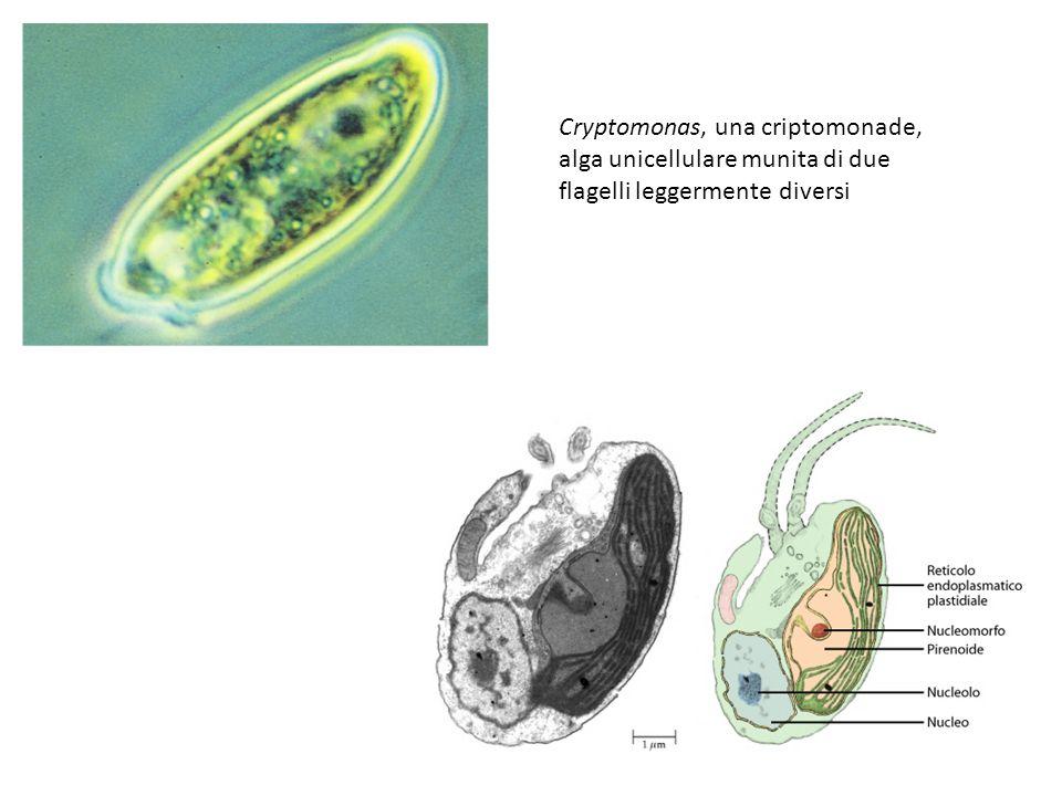 Cryptomonas, una criptomonade, alga unicellulare munita di due flagelli leggermente diversi