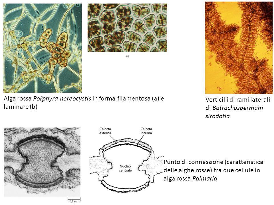 Alga rossa Porphyra nereocystis in forma filamentosa (a) e laminare (b) Verticilli di rami laterali di Batrachospermum sirodotia Punto di connessione