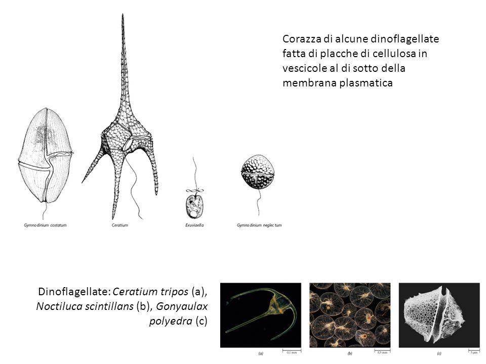 Corazza di alcune dinoflagellate fatta di placche di cellulosa in vescicole al di sotto della membrana plasmatica Dinoflagellate: Ceratium tripos (a),