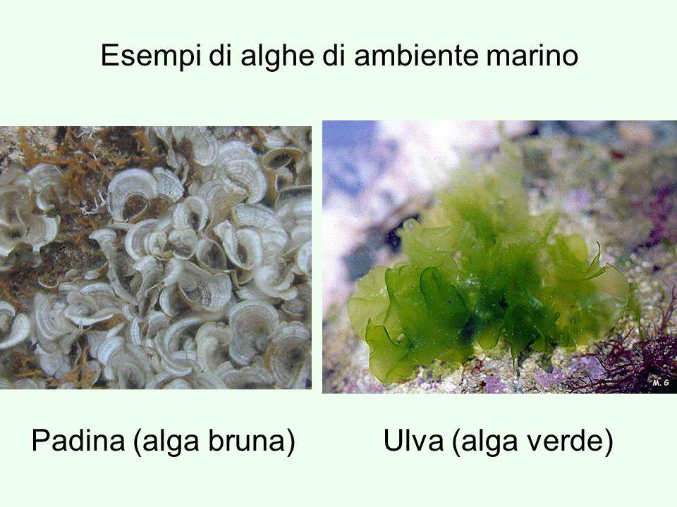 Esempi di alghe di ambiente marino Padina (alga bruna)Ulva (alga verde)