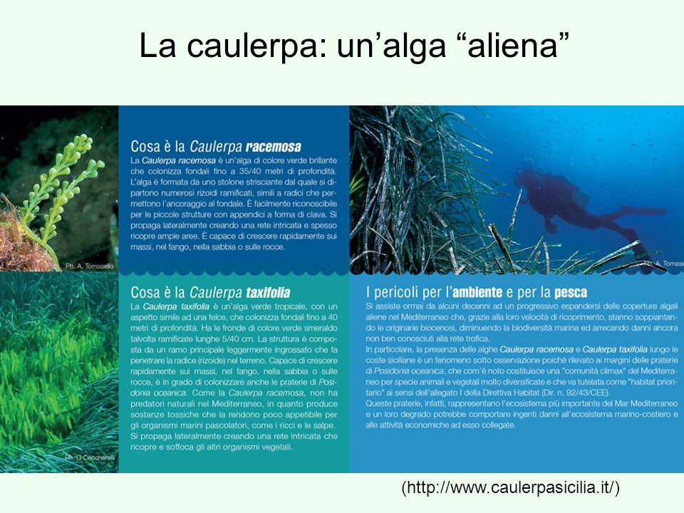"La caulerpa: un'alga ""aliena"" (http://www.caulerpasicilia.it/)"