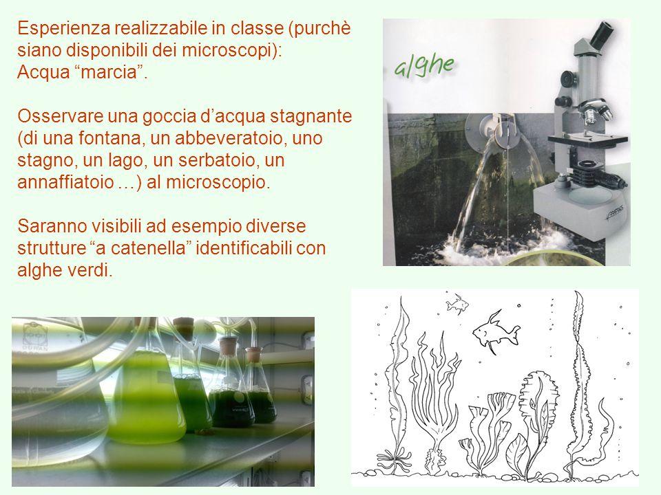 """Esperienza realizzabile in classe (purchè siano disponibili dei microscopi): Acqua """"marcia"""". Osservare una goccia d'acqua stagnante (di una fontana, u"""
