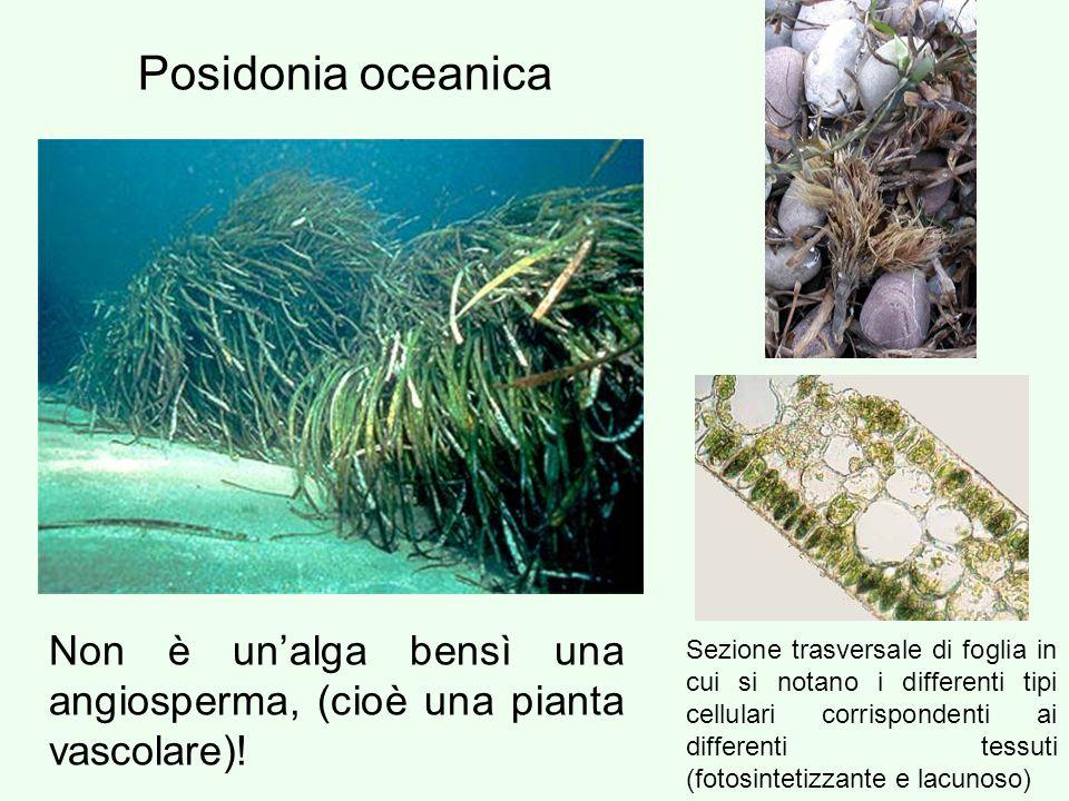 Non è un'alga bensì una angiosperma, (cioè una pianta vascolare)! Posidonia oceanica Sezione trasversale di foglia in cui si notano i differenti tipi