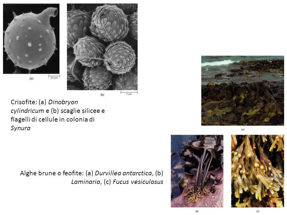 Crisofite: (a) Dinobryon cylindricum e (b) scaglie silicee e flagelli di cellule in colonia di Synura Alghe brune o feofite: (a) Durvillea antarctica,