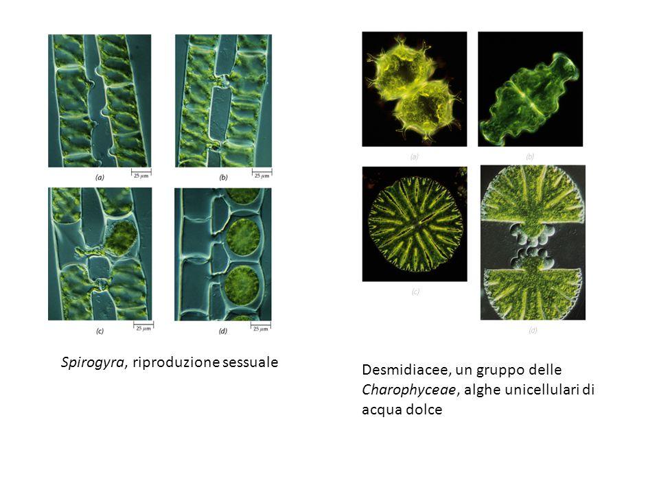 Spirogyra, riproduzione sessuale Desmidiacee, un gruppo delle Charophyceae, alghe unicellulari di acqua dolce