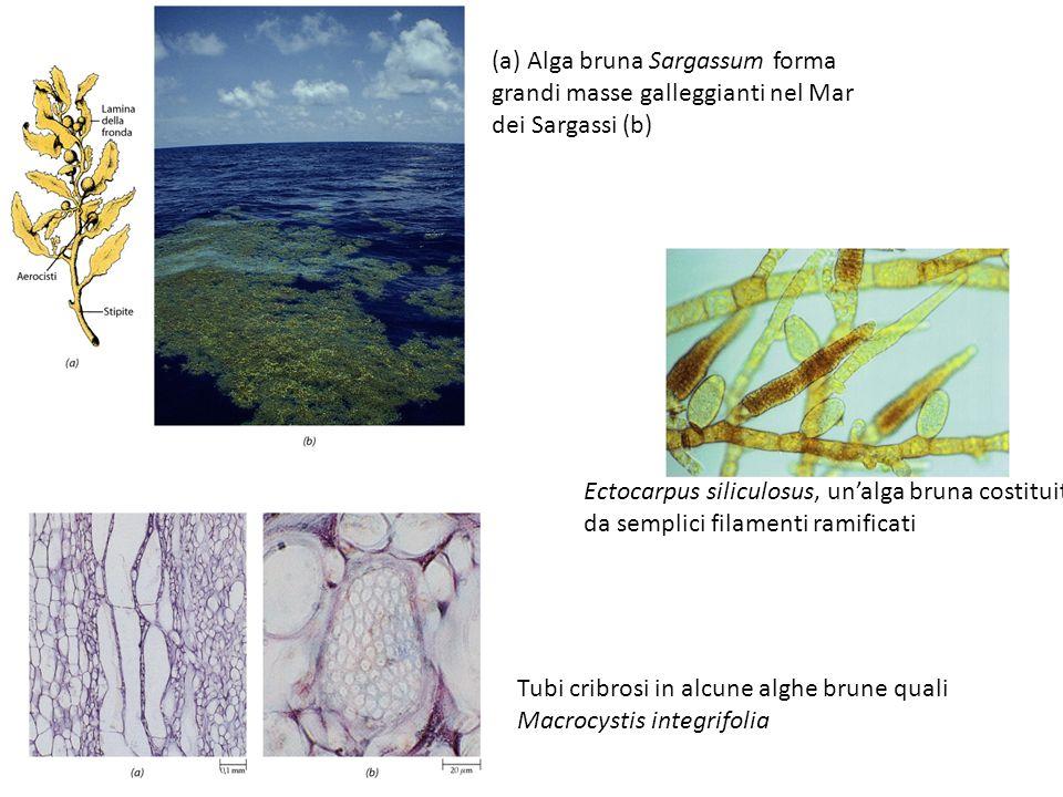 (a) Alga bruna Sargassum forma grandi masse galleggianti nel Mar dei Sargassi (b) Ectocarpus siliculosus, un'alga bruna costituita da semplici filamen