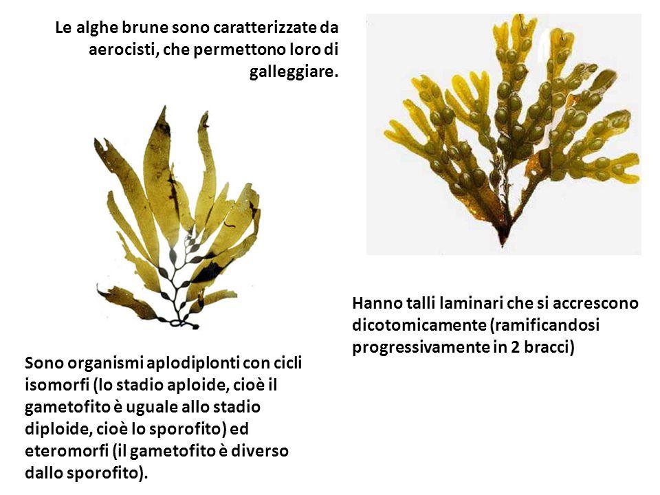 Le alghe brune sono caratterizzate da aerocisti, che permettono loro di galleggiare. Sono organismi aplodiplonti con cicli isomorfi (lo stadio aploide