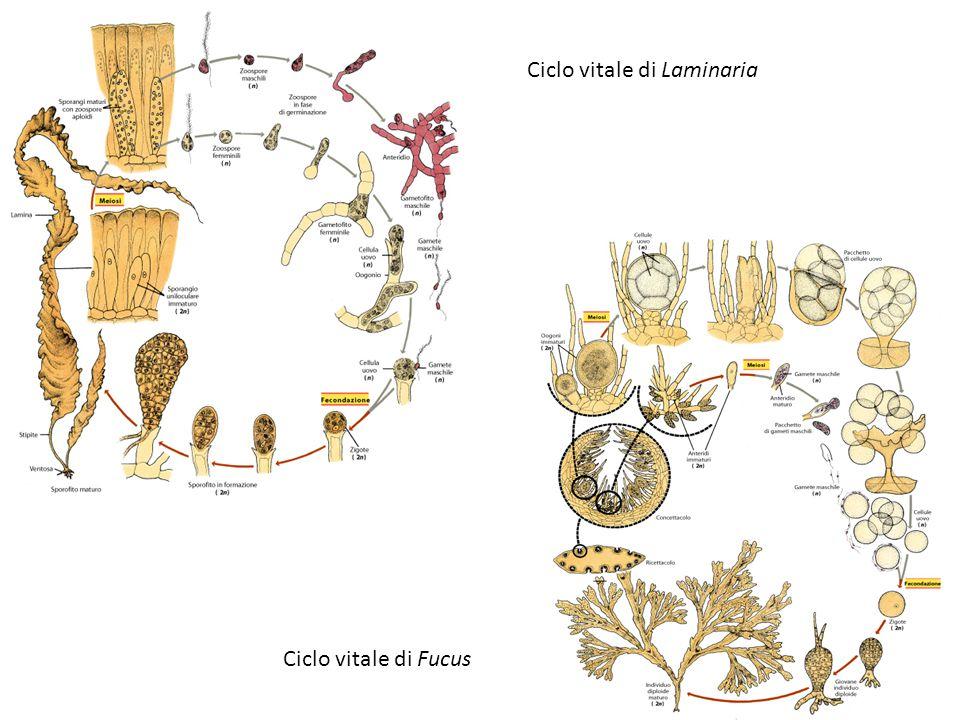Ciclo vitale di Laminaria Ciclo vitale di Fucus