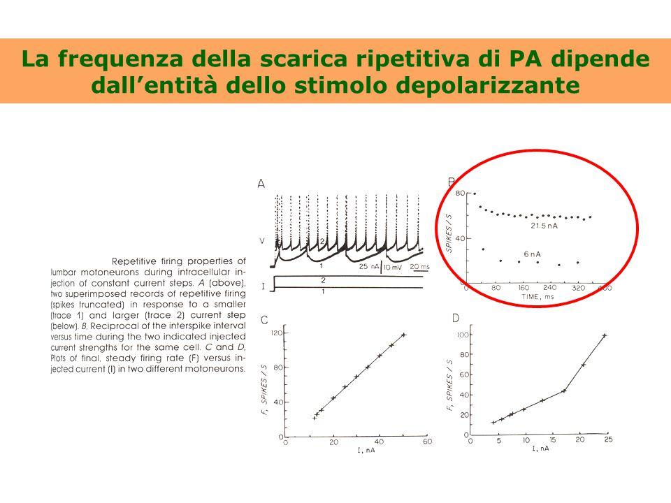 Ruoli delle correnti di K + Ca 2+ -attivate neuronali I mAHP determina una riduzione della frequenza della scarica ripetitiva in modo Ca 2+ -dipendente.