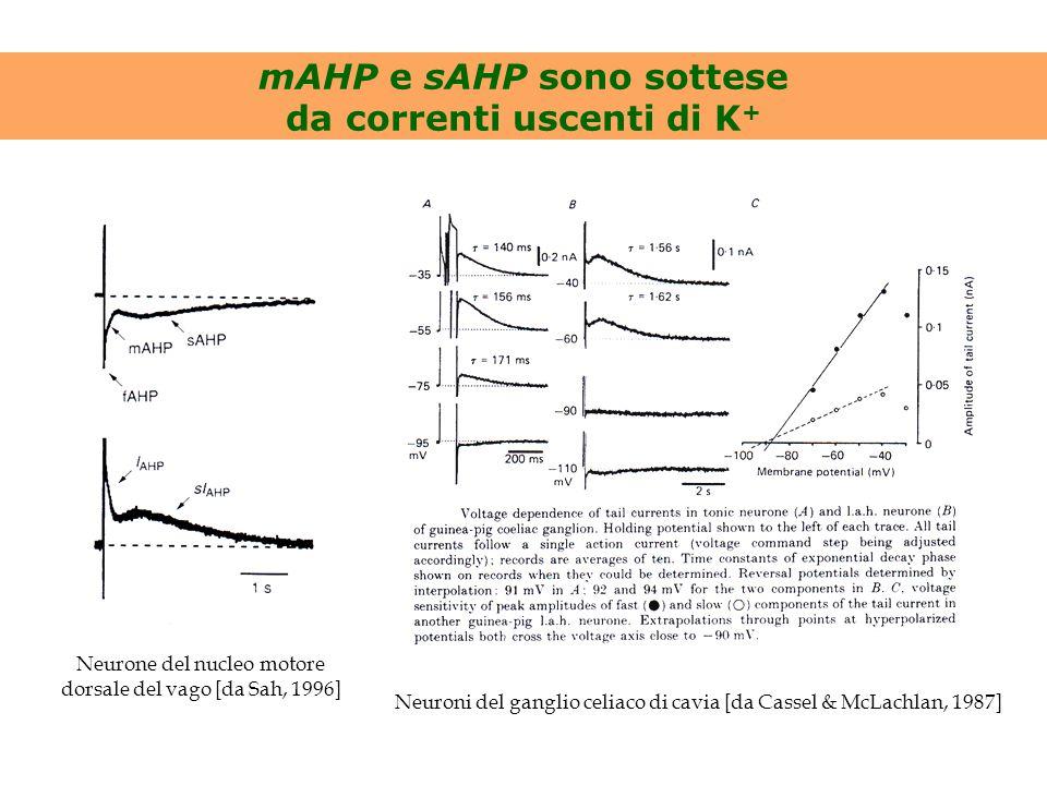 mAHP e sAHP sono sottese da correnti uscenti di K + Neurone del nucleo motore dorsale del vago [da Sah, 1996] Neuroni del ganglio celiaco di cavia [da