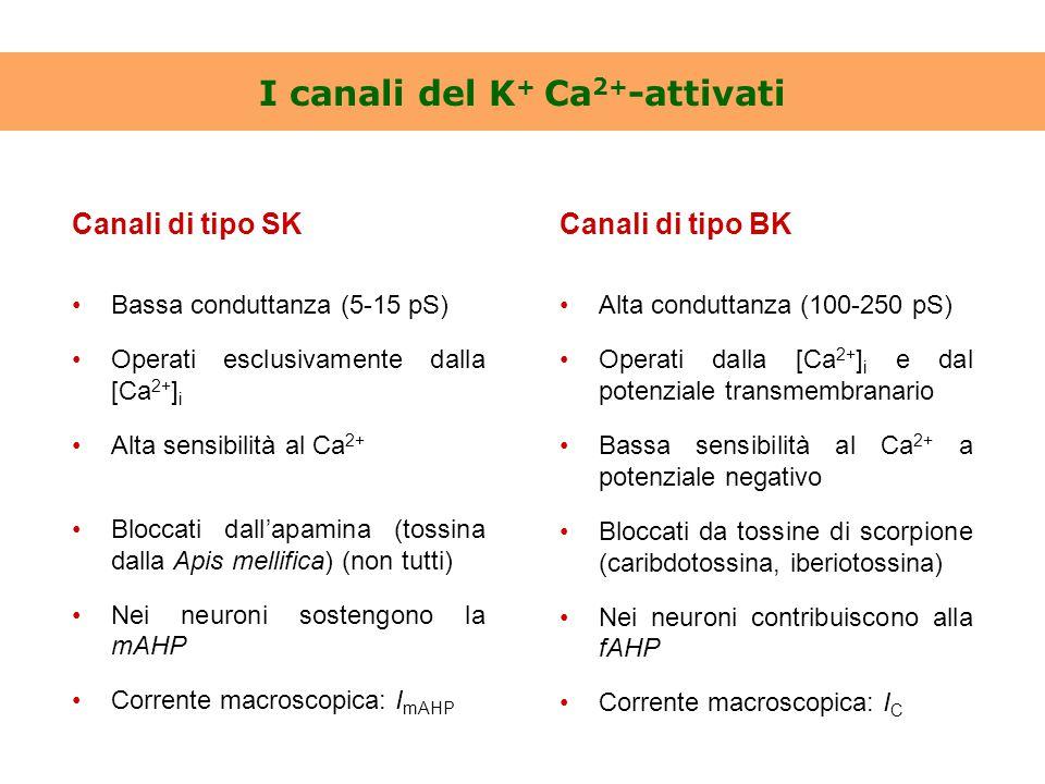 I canali del K + Ca 2+ -attivati Canali di tipo SK Bassa conduttanza (5-15 pS) Operati esclusivamente dalla [Ca 2+ ] i Alta sensibilità al Ca 2+ Blocc