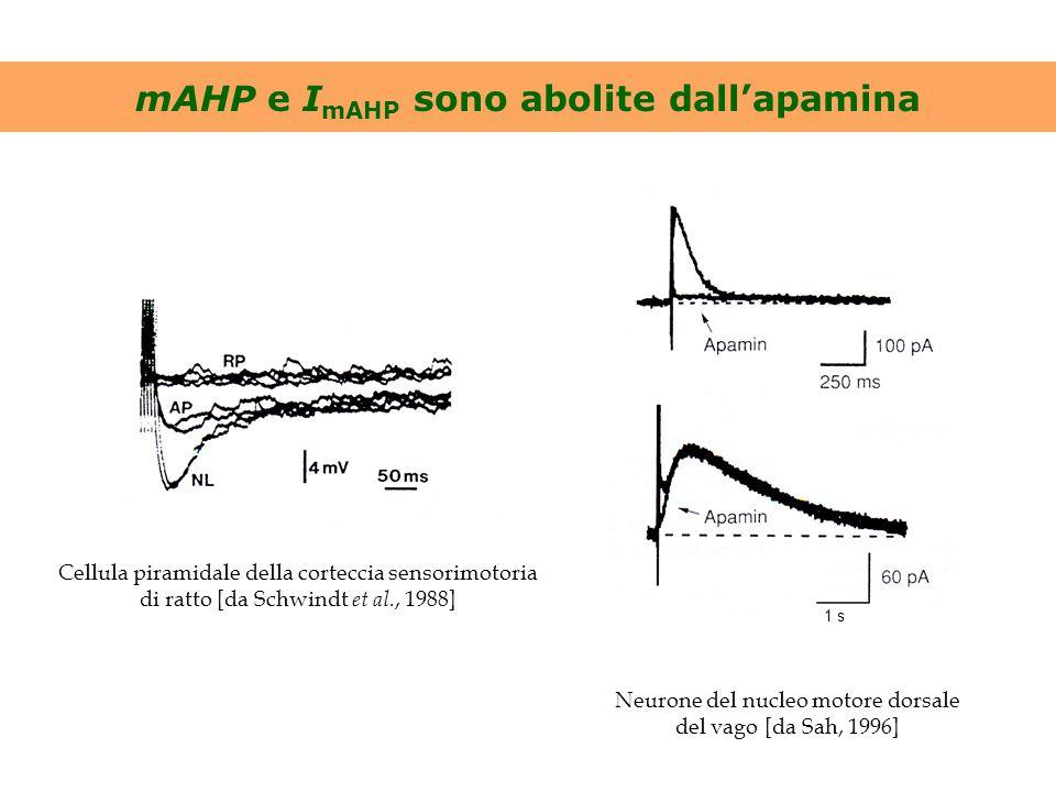 mAHP e I mAHP sono abolite dall'apamina Cellula piramidale della corteccia sensorimotoria di ratto [da Schwindt et al., 1988] 1 s Neurone del nucleo m