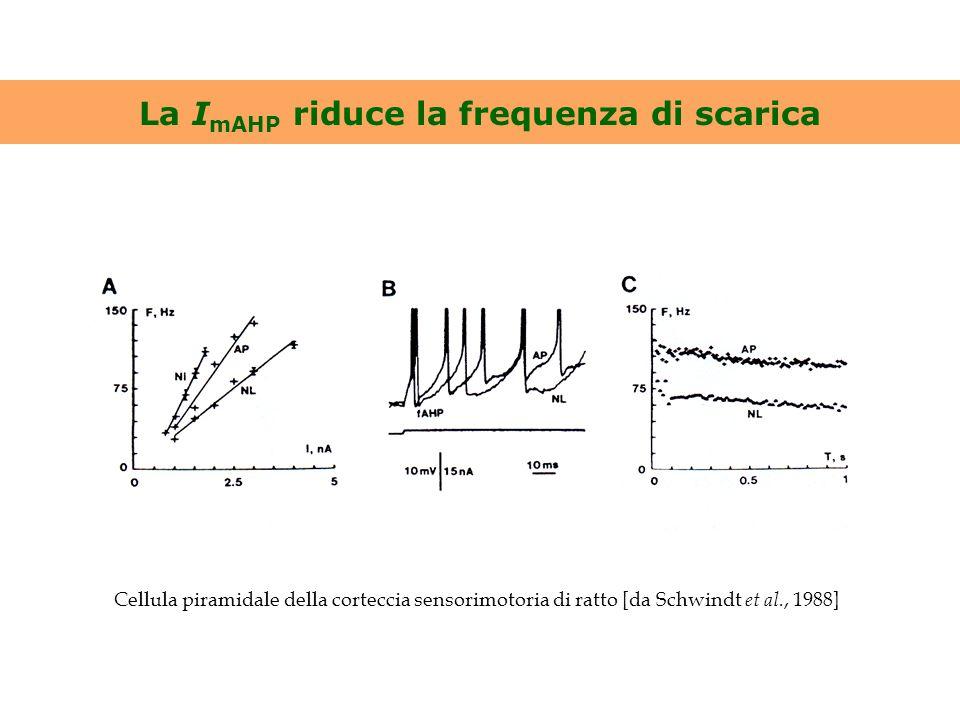 La I mAHP riduce la frequenza di scarica Cellula piramidale della corteccia sensorimotoria di ratto [da Schwindt et al., 1988]