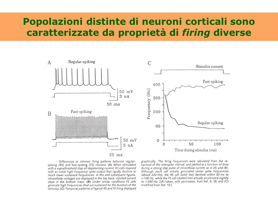 Una sottopopolazione di neuroni regular spiking manifesta il fenomeno dell'adattamento Registrazioni da due diversi neuroni dello strato V della corteccia sensorimotoria di ratto [da Franceschetti et al., 1998]
