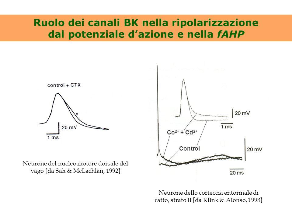 Ruolo dei canali BK nella ripolarizzazione dal potenziale d'azione e nella fAHP Neurone del nucleo motore dorsale del vago [da Sah & McLachlan, 1992]