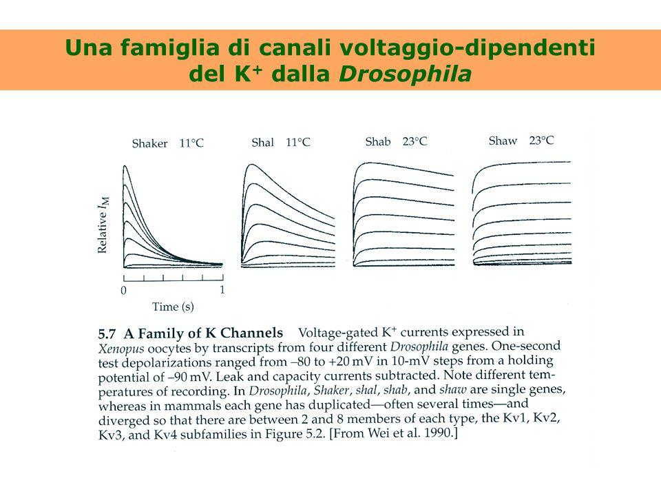 Una famiglia di canali voltaggio-dipendenti del K + dalla Drosophila