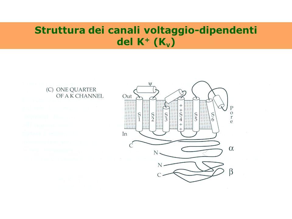 Struttura dei canali voltaggio-dipendenti del K + (K v )
