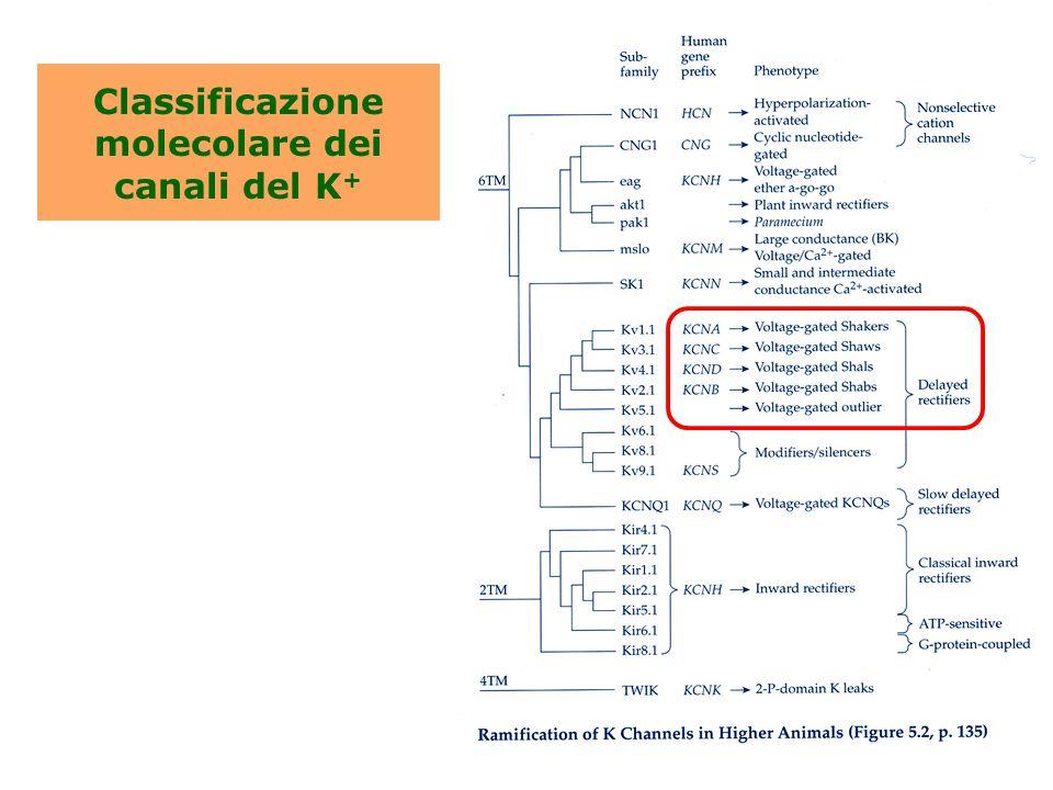 Classificazione molecolare dei canali del K +