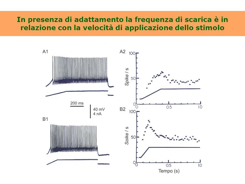 L'iperpolarizzazione postuma (AHP) che segue il PA presenta diverse fasi Registrazione da un neurone del nucleo motore dorsale del vago [da Sah, 1996]
