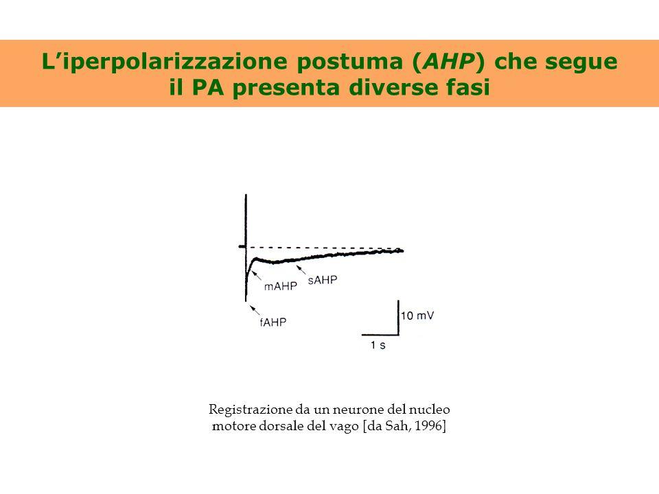 mAHP e I mAHP sono abolite dall'apamina Cellula piramidale della corteccia sensorimotoria di ratto [da Schwindt et al., 1988] 1 s Neurone del nucleo motore dorsale del vago [da Sah, 1996]