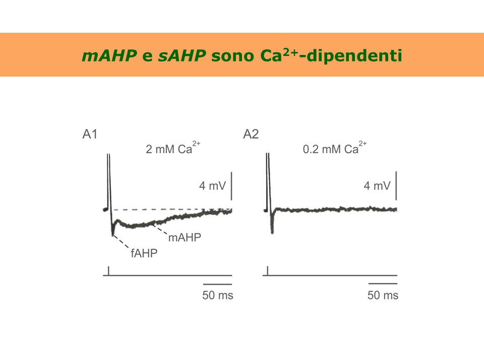 Struttura dei canali del K + Ca 2+ -attivati