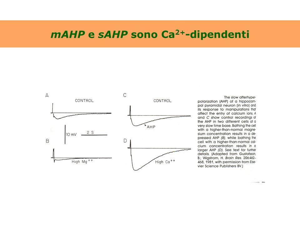La I sAHP è attivata da aumenti della [Ca 2+ ] i nella massa del citoplasma