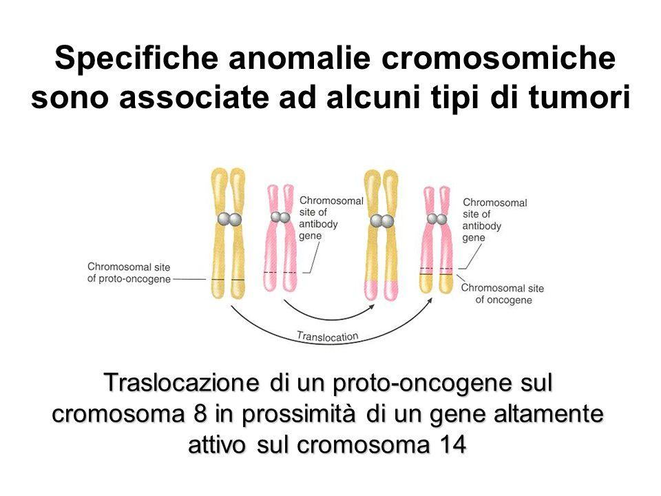 Traslocazione di un proto-oncogene sul cromosoma 8 in prossimità di un gene altamente attivo sul cromosoma 14 Specifiche anomalie cromosomiche sono associate ad alcuni tipi di tumori