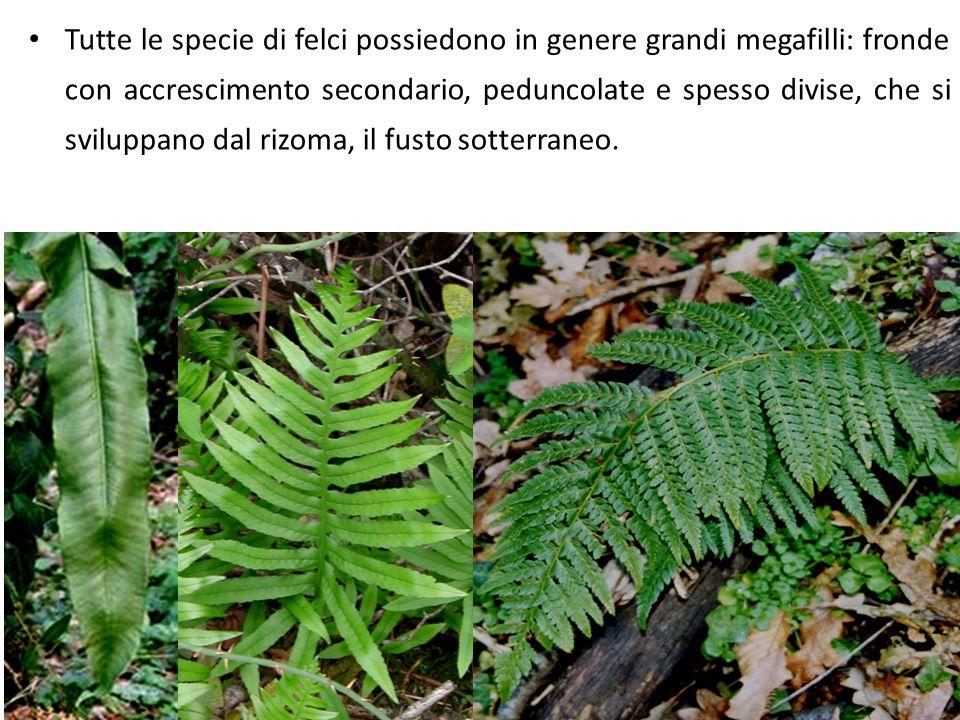 Tutte le specie di felci possiedono in genere grandi megafilli: fronde con accrescimento secondario, peduncolate e spesso divise, che si sviluppano da