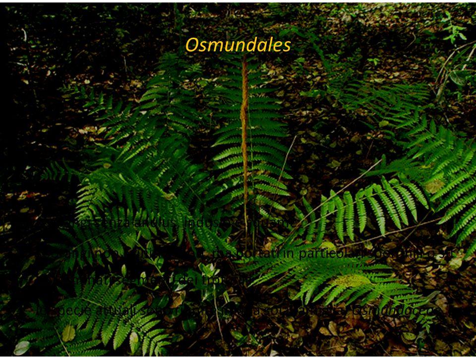 Osmundales sporangi senza anulus, indusio e squame sporangi non riuniti in sori, ma portati in particolari sporofilli o su determinati segmenti dei tr